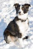 Schönes Portrait eines Rand-Colliebauernhofhundes. stockfoto