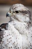 Schönes Profil eines grauen und weißen Falken Stockbild
