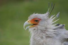 Schönes Profilbild Sekretärs Bird stockfotos