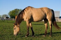 Schönes Purebread-Pferd, das Gras auf dem Gebiet isst Stockfotos