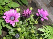 Schönes purpurrotes Blumen dimorofote stockbild
