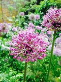 Schönes purpurrotes Flowerheads bei Hampton Court Castle, Leominster Stockbilder