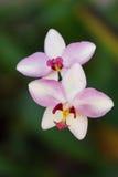 Schönes purpurrotes Orchideenblühen Stockfotografie