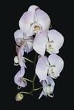 Schönes raceme von hellrosa Phalaenopsisorchideenblumen lizenzfreie stockfotografie