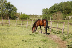Schönes reinrassiges Pferd, das in der Sommerwiese weiden lässt Lizenzfreie Stockbilder