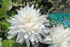 Schönes Reinweiß chrysanth stockbild