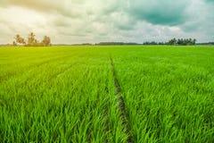 Schönes Reis-Feld Stockfoto