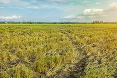 Schönes Reis-Feld nachdem dem Ernten Stockbild