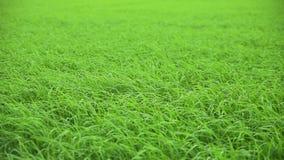 Schönes Reisfeld, das in den Wind beeinflußt stock video
