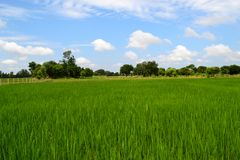 Schönes Reisfeld, Indien stockfoto