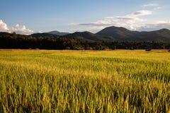 Schönes Reisfeld während des Sonnenuntergangs in Thailand stockbild