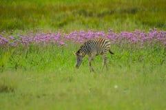 Schönes Rietvlei-Naturreservat nahe Pretoria und Befehlshaber zeichnete mit purpurrotem Pompomunkräuter Campuloclinium-macrocepha lizenzfreie stockfotos
