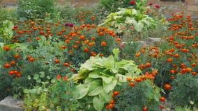 Schönes Ringelblumenblumenfeld mit voller blühender Ringelblume stock video footage