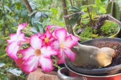 Schönes rosa Adenium obesum Stockbilder
