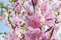 Schönes Rosa blüht die trilobate Mandeln Stockbilder