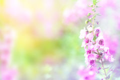 Schönes Rosa blüht Hintergrund Weicher Fokus lizenzfreies stockfoto