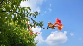 Schönes rosa Bouganvilla Glabra, das im Frühjahr mit dem blauen Himmel in Brasilien blüht Show der Natur aufdeckend Lizenzfreies Stockfoto