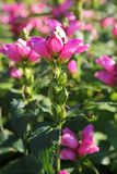 Schönes rosa Chelone obliqua rotes Turtlehead an einem Sommertag stockfoto
