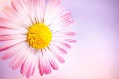 Schönes rosa deisy Stockbild