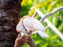 Schönes rosa Kakadu-Verkratzen Lizenzfreie Stockfotografie