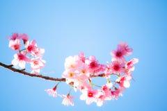 Schönes Rosa Kirschblütes lizenzfreies stockfoto
