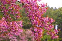 Schönes Rosa Kirschblütes stockfoto