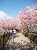 Schönes rosa Kirsche-bloosom mit perfektem blauem Himmel in Shizuoka Japan Stockbild