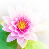 Schönes Rosa oder Lotosblumenhintergrund Lizenzfreies Stockfoto