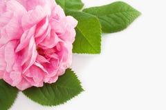 Schönes Rosa stieg Stockfotos