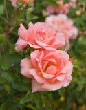 Schönes Rosa stieg Lizenzfreie Stockfotos