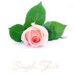 Schönes Rosa stieg Lizenzfreie Stockbilder