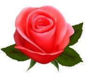 Schönes Rosa stieg auf einen weißen Hintergrund. Stockbild