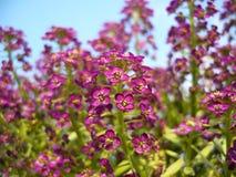 Schönes Rosa-träumerische purpurrote Blumen stockfoto