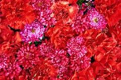 Schönes rosa und Rot blüht Hintergrund Herbst festlich und Parteidekoration Stockbild