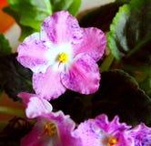 Schönes rosa Veilchen der weißen Blume, Nahaufnahme Lizenzfreies Stockbild