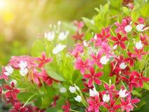 Schönes Rosa von Rangun-Kriechpflanzenblumen lizenzfreie stockbilder