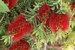 Schönes Rot blüht Melaleuca-citrina, Hintergrund Stockfotos