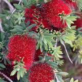 Schönes Rot blüht Melaleuca-citrina, Hintergrund Stockbilder