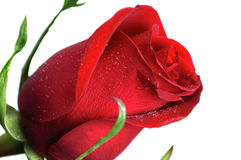 Schönes Rot stieg Stockbilder
