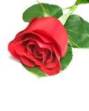 Schönes Rot stieg auf einen weißen Hintergrund Stockfotografie