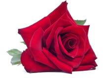 Schönes Rot stieg auf einen weißen Hintergrund lizenzfreies stockfoto