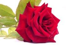 Schönes Rot stieg auf einen weißen Hintergrund lizenzfreies stockbild