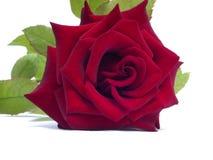 Schönes Rot stieg auf einen weißen Hintergrund stockbilder
