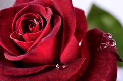 Schönes Rot stieg mit Regentropfen, Makro Stockfoto