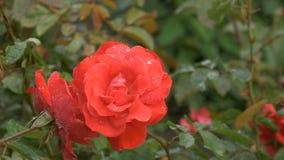 Schönes Rot stieg mit Wassertropfen stock footage