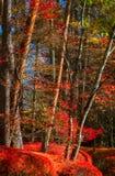 Schönes rotes Laub verlässt im Herbstwald Lizenzfreie Stockfotografie