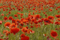 Schönes rotes Mohnblume ` s Feld in der Sommerzeit Lizenzfreies Stockfoto