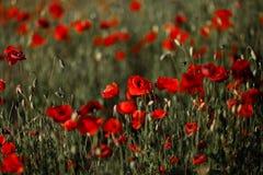 Schönes rotes Mohnblumenfeld im Sommer - später Sonnenuntergang mit einer netten roten Sonne stockfoto