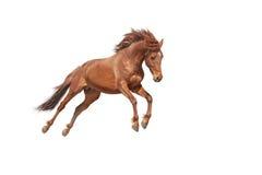 Schönes rotes Pferd, das in eine sich entwickelnde Mähne des Phasensprunges galoppiert Lizenzfreie Stockbilder