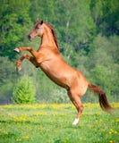 Schönes rotes Pferd, das oben bei Sonnenuntergang im Sommer aufrichtet stockbilder